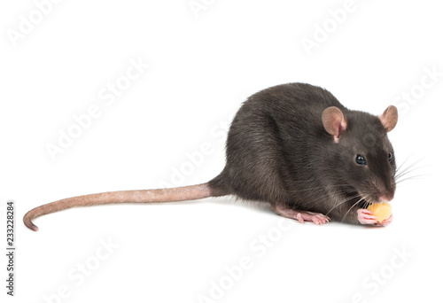 Fototapety, obrazy: Gray rat with cheese