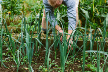 Male Gardener Weeding A Bed Of Leeks In The Kitchen Garden.