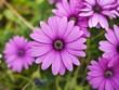 canvas print picture - pâquerette fleur violette
