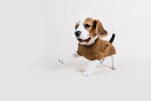 Beagle Puppy Running In Winter...