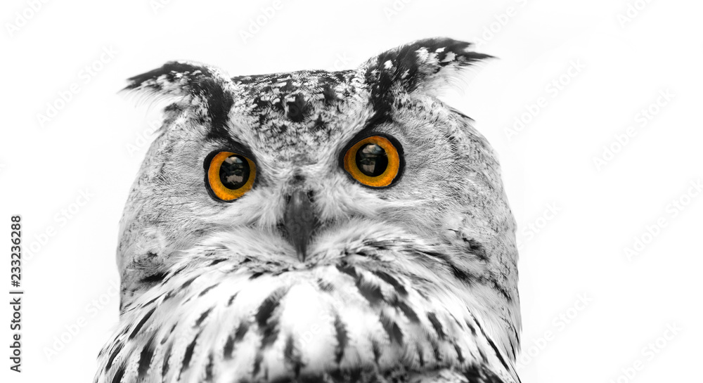A close look of the orange eyes of a horned owl on a white background. Focused on the eyes. In black and white with colored eyes.