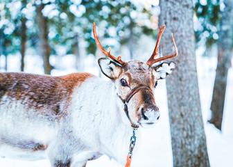 Brown Reindeer in Finland i...
