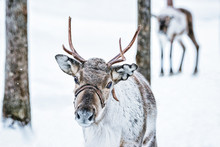 Brown Reindeer In Finland At L...