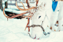 White Reindeer In Finland In Lapland Winter
