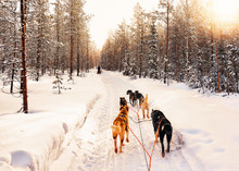 Husky Dog Sled Of Finland In Lapland Winter