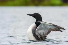 The Common Loon, Gavia Immer Is Floating On The Lake In Veidivotn, Iceland