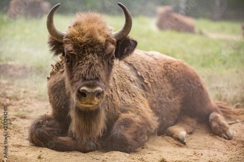 Fényképezés  European bison (Bison bonasus)