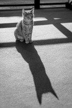 Young Cat Siting On Carpet On Balcony. Cat Shadow. Black And White Photo