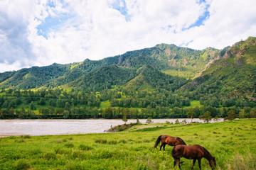 Nature of Altai mountains Katun River horses in Siberia