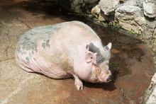 Pink Vietnamese Potbellied Pig Sus Scrofa Domesticus. Close Up