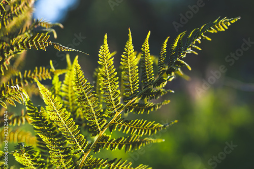 Fern leaf in sunlight over blurred background