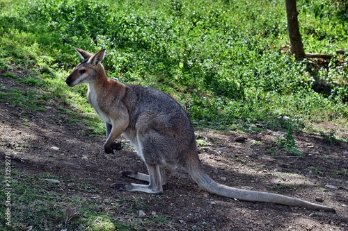 Deurstickers Kangoeroe Young cute wild gray wallaby kangaroo