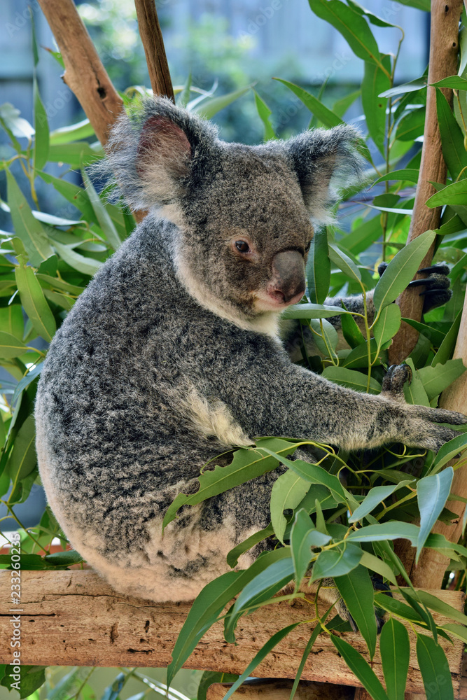 Cute koala sitting and eating eucalyptus on a tree branch
