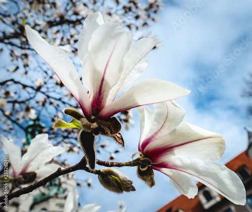 Spoed Foto op Canvas Magnolia Magnolia ´Big DuDe` Soulangeana