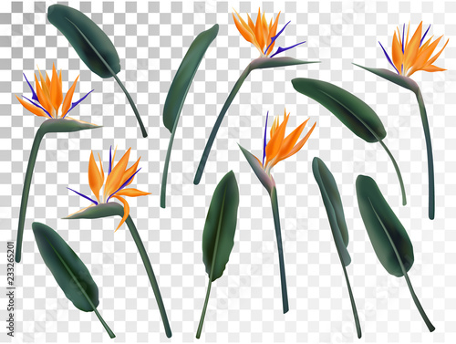Strelitzia Reginae flower vector illustration collection isolated on transparent. Green leaves, orange and violet blossom realistic design set. South African plant, so called crane or bird of paradise