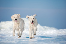 Two Happy Dogs Running Outdoors In Winter