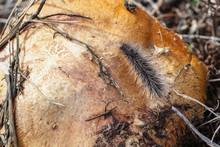 Closeup Of Black Hairy Caterpillar Worm Crawling Along An Edge Of Mushroom