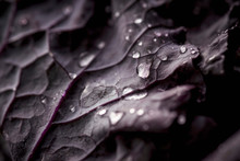 Close Up Water Droplets On Purple Kale Leaf