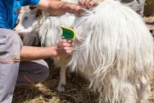 Cachemire Goats Cashmere. Kash...