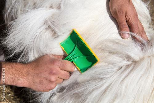 Fotografie, Obraz  cachemire Goats cashmere