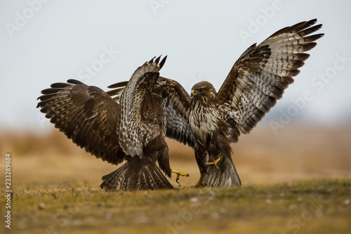Fotografie, Obraz  The Common Buzzards, Buteo buteo are fighting in autumn color environment of wildlife