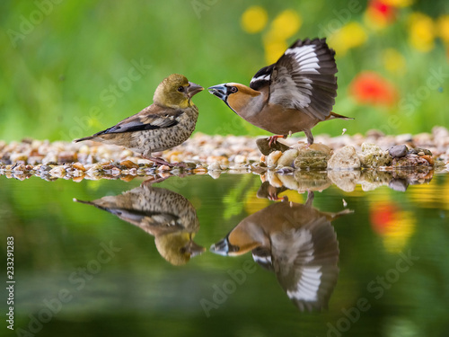 Fotografía The Hawfinch, Coccothraustes coccothraustes feeding the chicks at the waterhole in the forest
