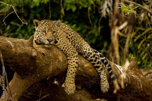 Leinwand Poster Brazilian Pantanal: The Jaguar
