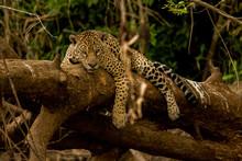 Brazilian Pantanal: Jaguar On A Tree