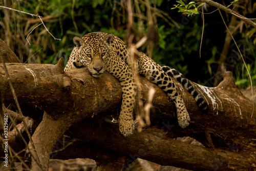 Poster Leopard Brazilian Pantanal: Jaguar on a Tree