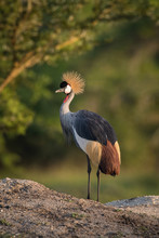 The Grey Crownned Crane, Balearica Regulorum Is Standing In Soft Light During Sunset, Green Bokeh Backround, Uganda..