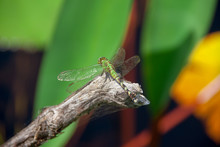 Dragonfly Resting On A Twig In...