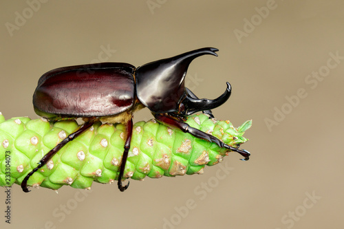 Image of dynastinae on nature background. Insect. Animal. Dynastinae is fighter of the mountain in from Thailand.