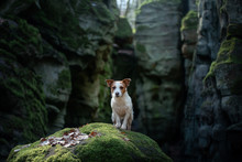 Dog In The Rocks, Canyon. Jack Russell Terrier In Nature. Active Pet, Healthy Lifestyle