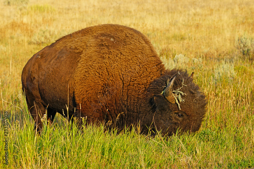 Poster Bison View of a single lonely bison in the grass in Yellowstone National Park, Wyoming, United States