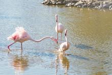 Flock Pink Flamingos Walking In Water In Natural Environment