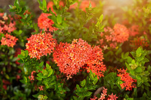 Beautiful Red Spike Flower,King Ixora Blooming (Ixora Chinensis) And Green Leaves. Spike Flower In The Garden With Natural Background.