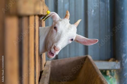 Fotografia adorable cute with goat