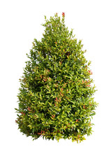 Tall Bush Isolated,Objects With Clipping Paths