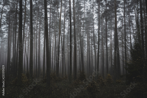 Fototapeta Mysterious Misty Dark Forest Late Autumn Afternoon Magic Woodland