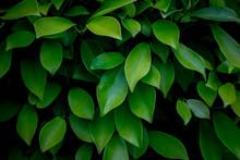 Green Leaves Background In Dar...