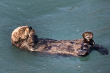 海でプカプカ ラッコちゃん Enhydra Lutris(Alaska Sea Otters