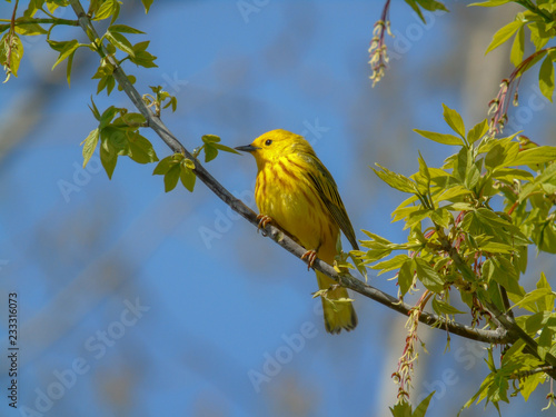 Pretty yellow warbler migrating through Magee Marsh Canvas Print