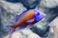 Chromis Red Kadango Fish. Endemic View Of Lake Malawi In Africa. Refers To Cichlids. The Head Is Big With A Large Jaw. Fish With A Red Body, Head And Fins Are Blue.