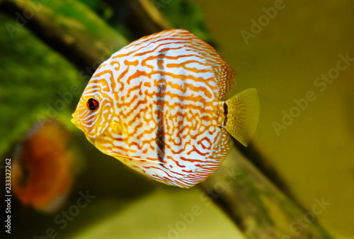Papiers peints Recifs coralliens The brown discus fish. Discus inhabit the upper and middle reaches of the Amazon basin. Keep in shady places of quiet reservoirs.