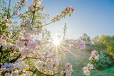 Fototapeta Kwiaty - Pink sakura flowers in beatiful morning, spring blossoming cherry tree branch and sun shine through trees.