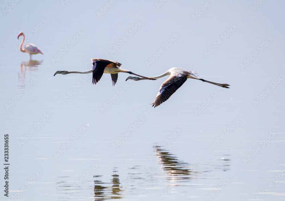 TWO FLAMINGOS FLYING OVER A LAKE IN FORMATION