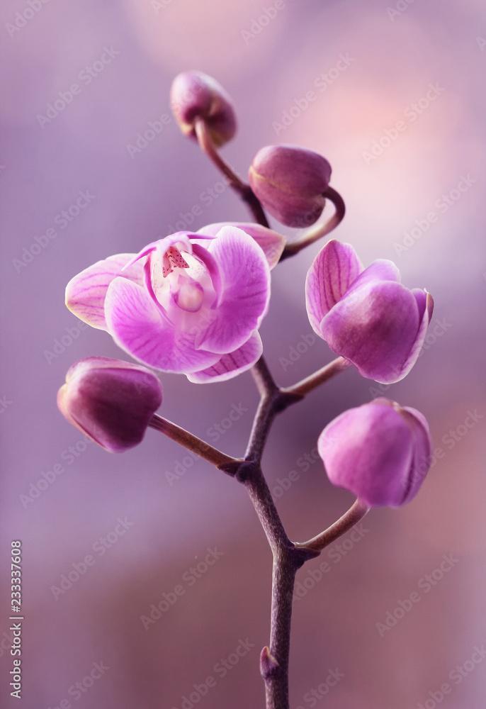 Fototapety, obrazy: Storczyki różowe