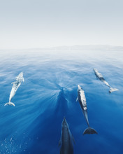 Dolphins In Front Of Yacht