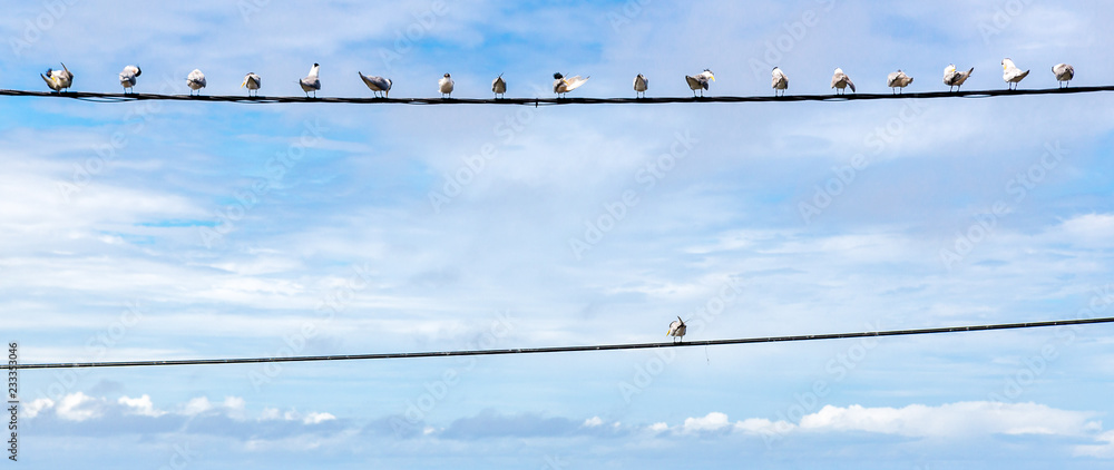 Fototapeta Individuality symbol, think out of the box, independent thinker concept or individuality as a group of pigeon birds on a wire with one individual in the opposite direction as a business icon.