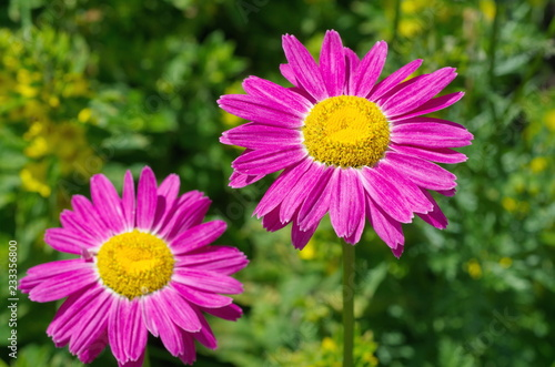 Foto op Canvas Bloemen The pink pyrethrum, or Persian Daisy (lat. Pyrethrum roseum) bloom in the garden